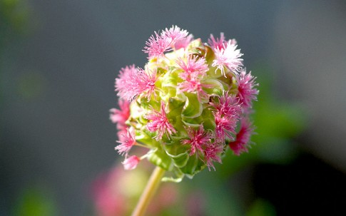 Pimpinelle (Pflanze)