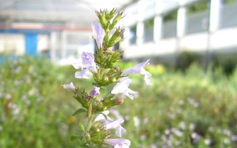 Kreta-Bergminze (Pflanze)