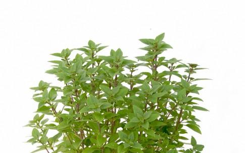 Busch-Basilikum 'Corfu' (Pflanze)