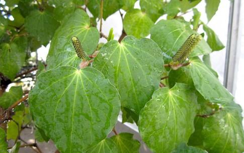 Tahiti-Pfeffer, Maori-Kava (Pflanze)