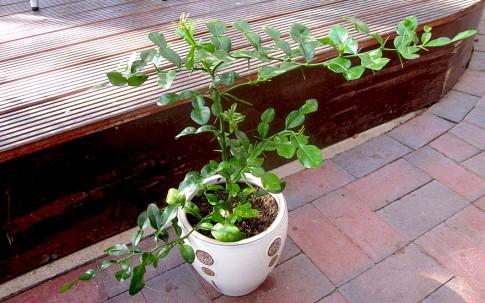 Thailändisches Zitronenblatt Kaffirlimette (Pflanze)
