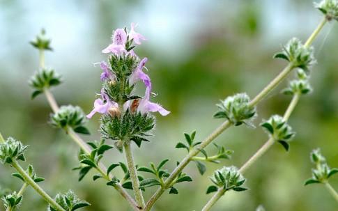 Zatar Parsi (Pflanze)