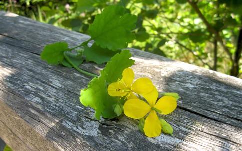 Schöllkraut (Pflanze)