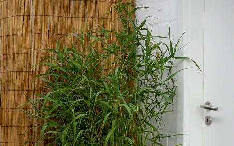 Palmarosa (Pflanze)