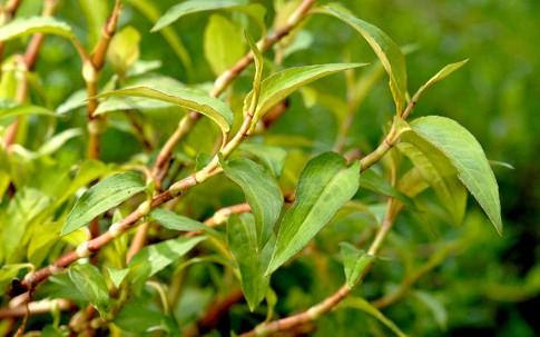 Vietnamesischer Koriander (Pflanze)