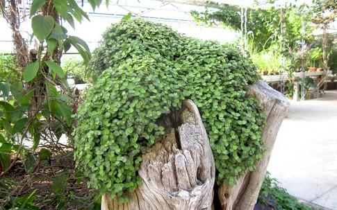 Kriechendes Schönpolster (Pflanze)