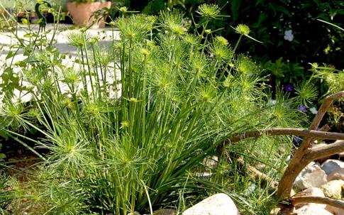 Zwerg-Zyperngras (Pflanze)