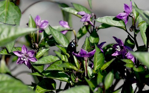 Chili 'Peruvian Purple' (Pflanze)