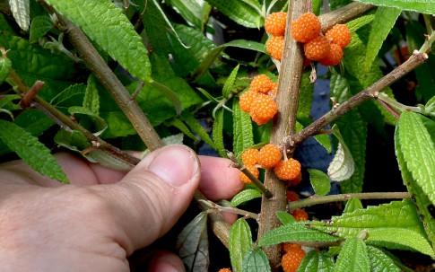 Suhosine (Pflanze)