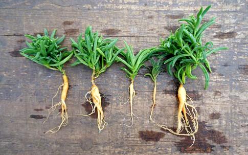 Delosperma bosseranum (Pflanze)
