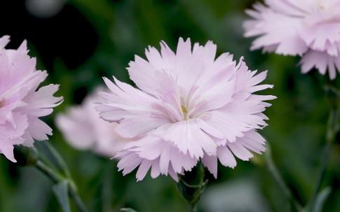 Federnelke 'Duftwolke' (Pflanze)
