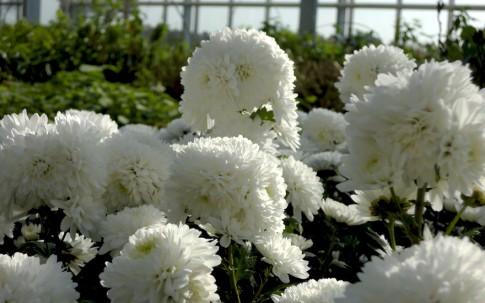 Chinesische Tee-Chrysantheme, gefüllt blühend (Ju Hua) (Pflanze)