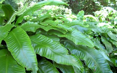 Hirschzungenfarn (Pflanze)