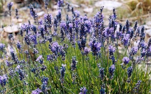 Lavendel (Saatgut)