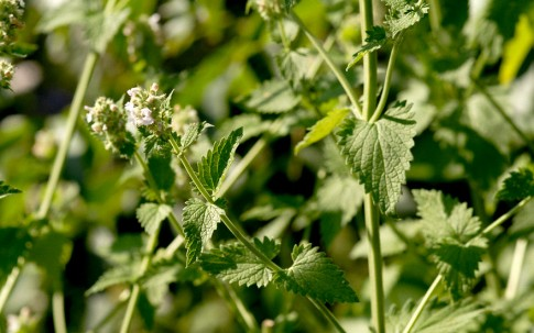 Katzenminze (Pflanze)