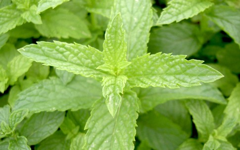 Spearmint (Pflanze)
