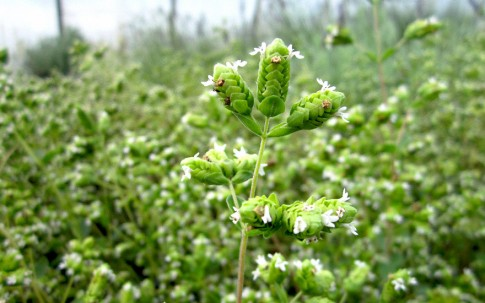 Majoran, winterfest (Pflanze)