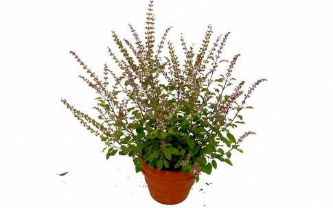 Tulsi (Indisches Basilikum) (Pflanze)
