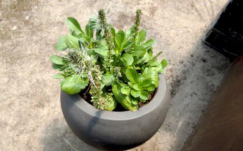 Kutki (Pflanze)