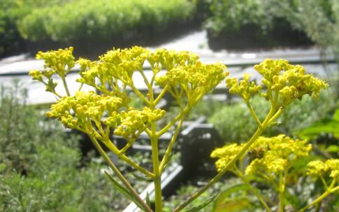 Goldbaldrian, gelb (Saatgut)