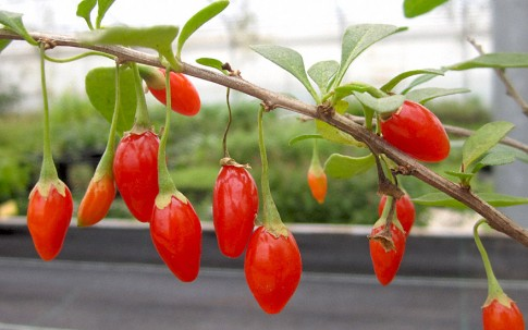 Goji-Beere 'Sweet Lifeberry' (Pflanze)