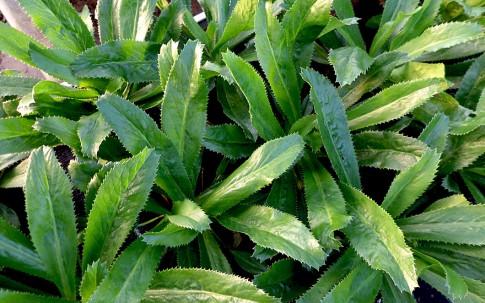 Langer Koriander (Pflanze)