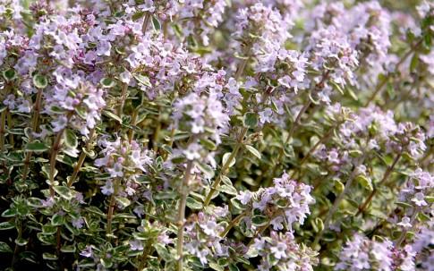 Zitronenthymian, weißbunt (Pflanze)