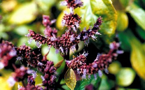 Indisches Patchouli, glatt (Pflanze)