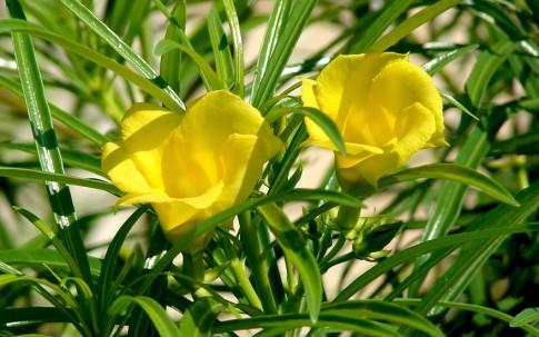 Oleander, karibisch (Saatgut)