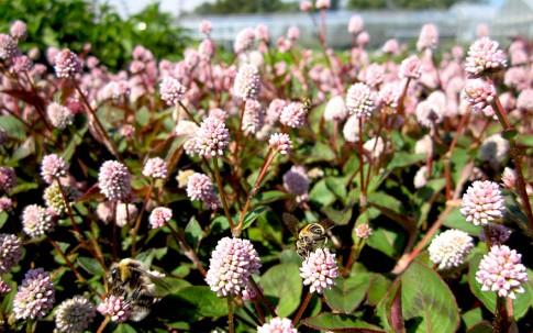 Himalaya-Knöterich (Pflanze)
