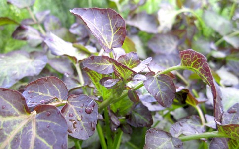 Rote Brunnenkresse (Pflanze)