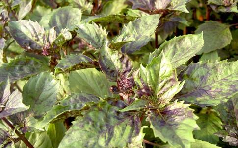 Basilikum 'Rotes Lesbos' (Pflanze)