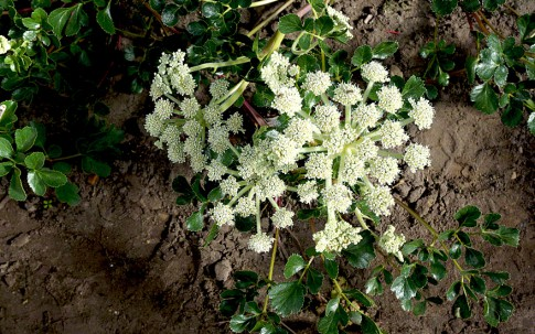 Glehnia (Pflanze)