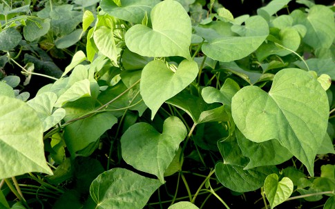 Lakshmana (Pflanze)