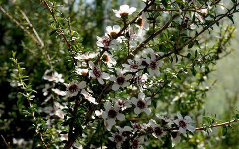 Kanuka (Pflanze)