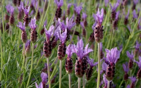 Schopflavendel 'Papillon' (Pflanze)