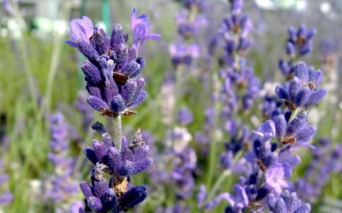 Lavendel 'Imperial Gem' (Pflanze)