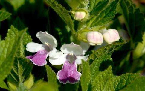 Immenblatt (Pflanze)