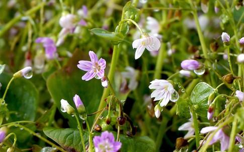 Sibirischer Winterportulak (Pflanze)