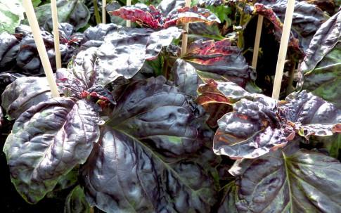 Rotes salatblättriges Basilikum (Saatgut)
