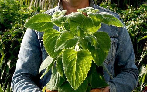 Australisches Zitronenblatt (Pflanze)