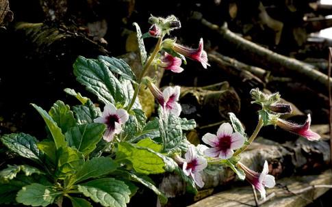 Rehmannia (Di Huang) (Pflanze)
