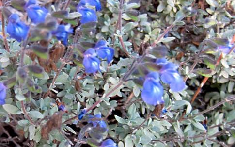Salbei, thymianblättrig (Pflanze)
