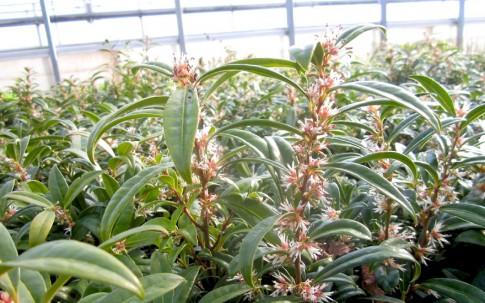 Hookers Fleischbeere (Pflanze)