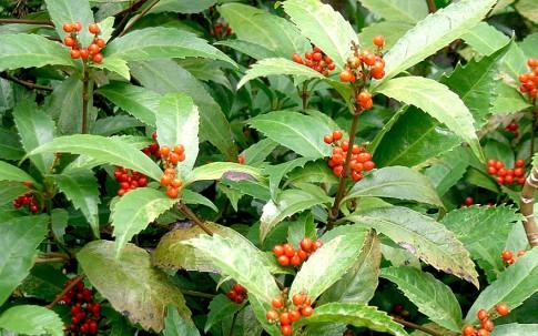 Sarcandra (Pflanze)