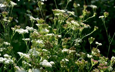 Bergfenchel (Pflanze)