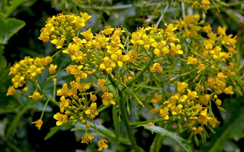 Teichkresse (Pflanze)