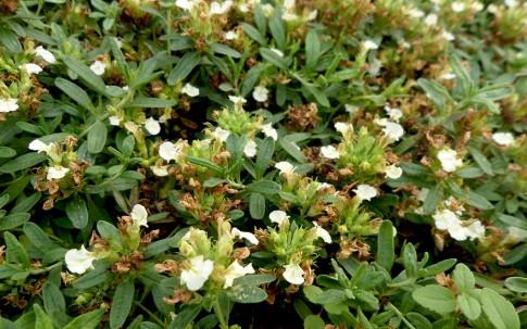 Berg-Gamander (Pflanze)