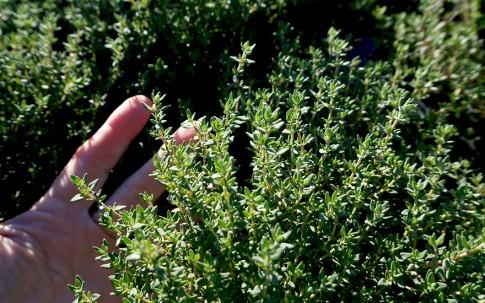 Thymian 'Precompa' (Pflanze)