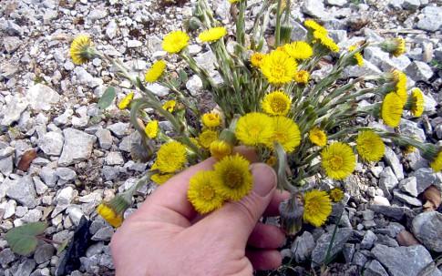 Huflattich (Pflanze)